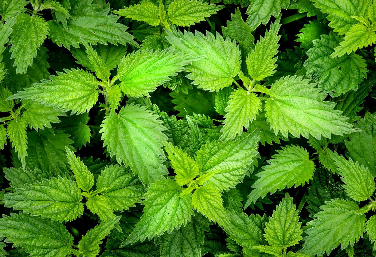 Gyógynövények prosztatabántalmakra, Milyen gyógynövényeket inni prosztatagyulladással